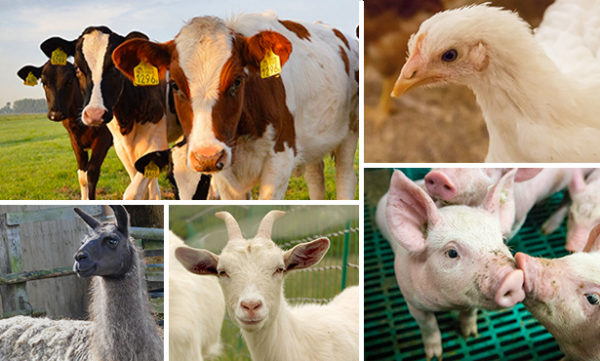Photo compilation of cattle, pigs, chickens, goats and alpacas