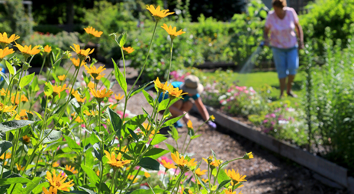 two master gardener volunteers water and weed a bed in the background of yellow heliopsis flowers
