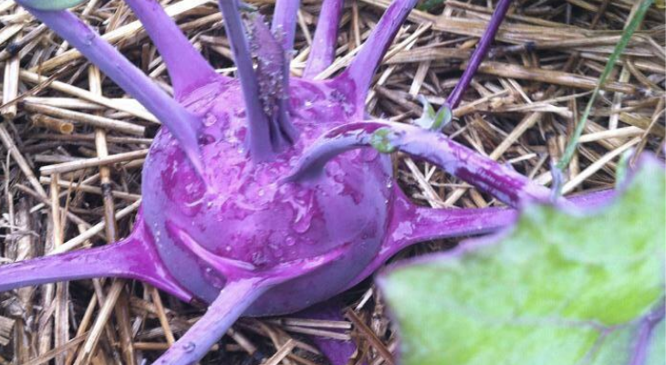 kohlrabi fall season garden delight