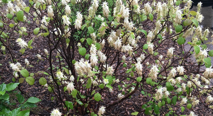 witch hazel (fothergilla) flowers - photo by kelly allsup