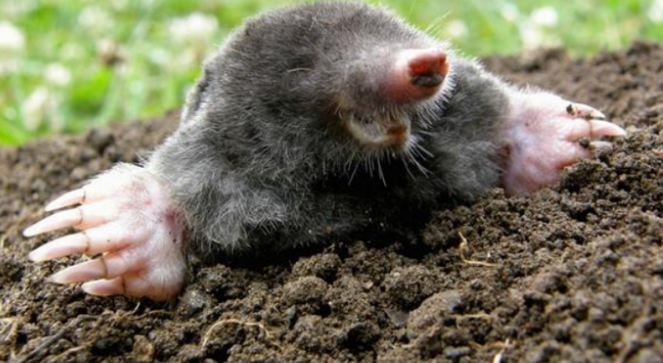 mole emerging from soil