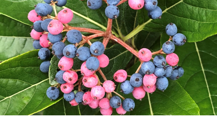 Ornamental Fall Berries Provide Year Round Awe University Of