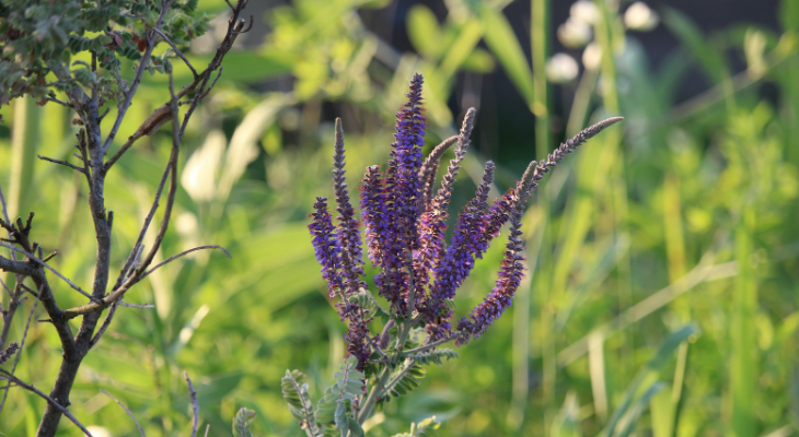 Amorpha canescens - Lead Plant - Layne Knoche
