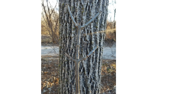 Ash trees have a distinctive, opposite branch arrangement observable by twigs that occur directly across from each other on each stem.