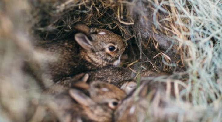 Cottontail rabbit babies in nest.