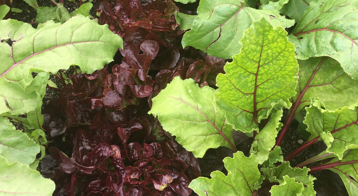 beet greens and lettuce greens