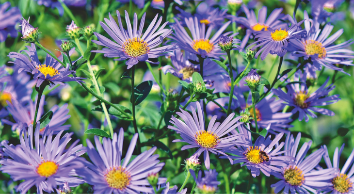 aster, purple with yellow centers. credit: pixabay.