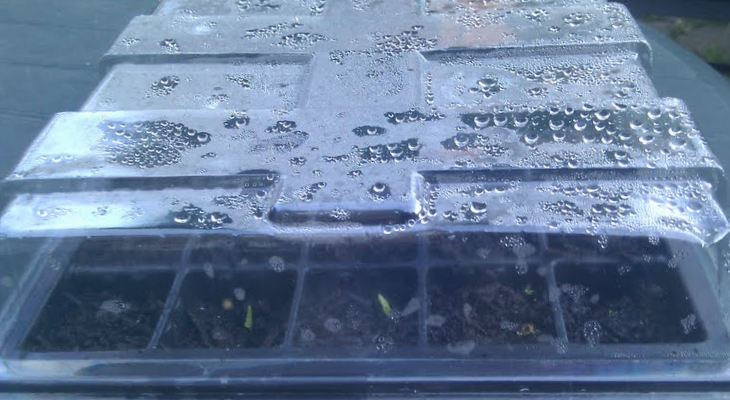seedling under plastic lid. creative commons.