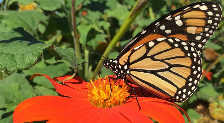 monarch butterfly on mexican hat sunflower