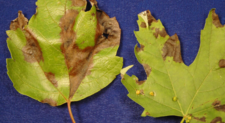 Maple anthracnose, via U of I plant clinic