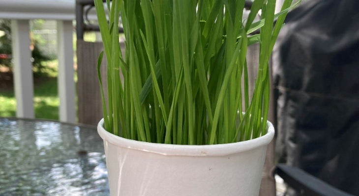 wheat grass growing in a cup