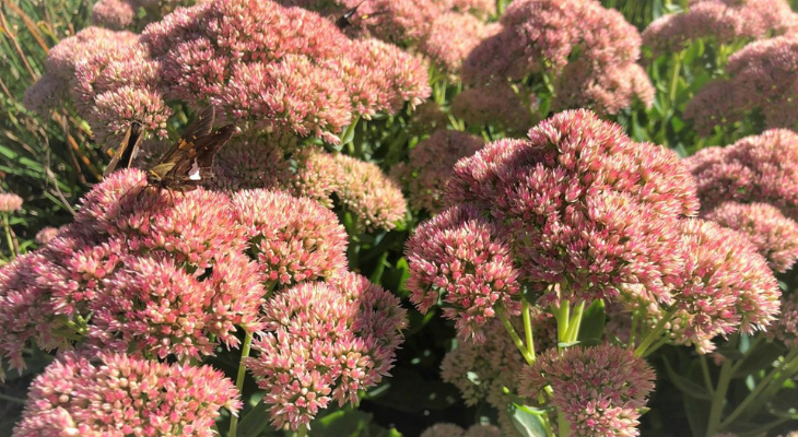 butterflies on sedum by Candace Hart