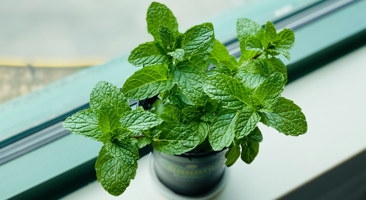Mint plant on window sill in small container. Image: Eleanor Chen via Unsplash