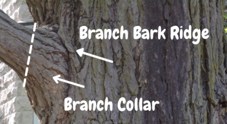 diagram of branch bark ridge and branch bark collar