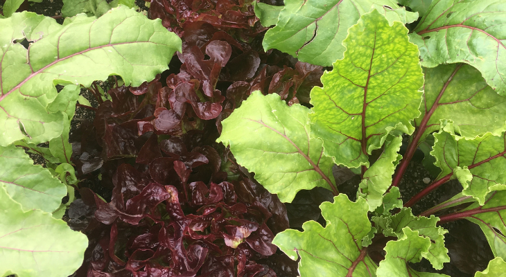 beet greens and red lettuce. Photo by Kelly Allsup