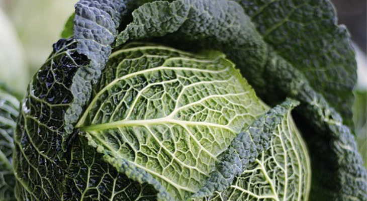 close up of cabbage