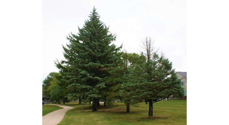 Colorado blue spruce is a non-native, commonly planted landscape tree that suffers from many issues here in Illinois.