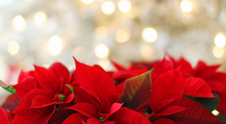 red poinsettia with green tips in foreground of brilliant white holiday lighting