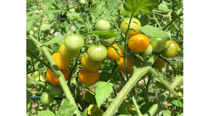 Delicious and sweet 'Sungold' tomatoes were hard to find in 2020 since an unusually large number of homebound gardeners bought up seeds and plants at unprecedented numbers.