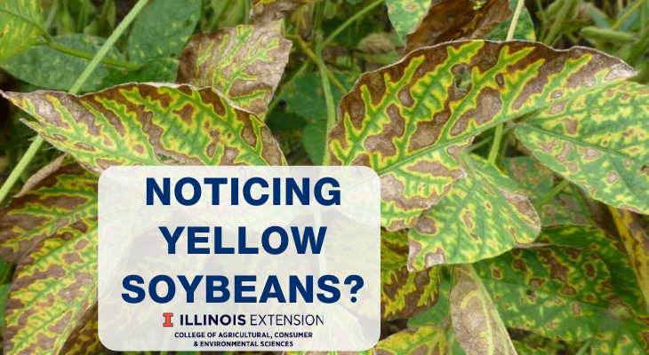 Interveinal chlorosis on soybean leaves