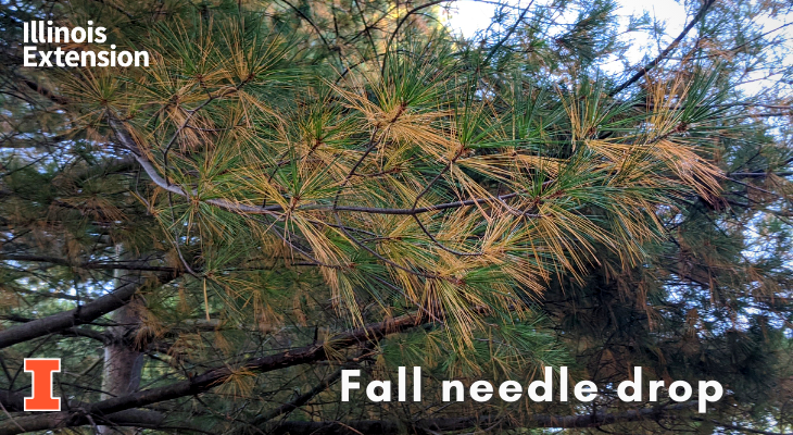 pine with fall displaying fall needle drop, older needles are turning yellow while newer needles remain green