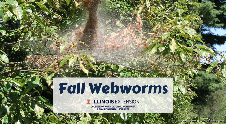 fall webworm webbing on tree branch with caterpillars inside