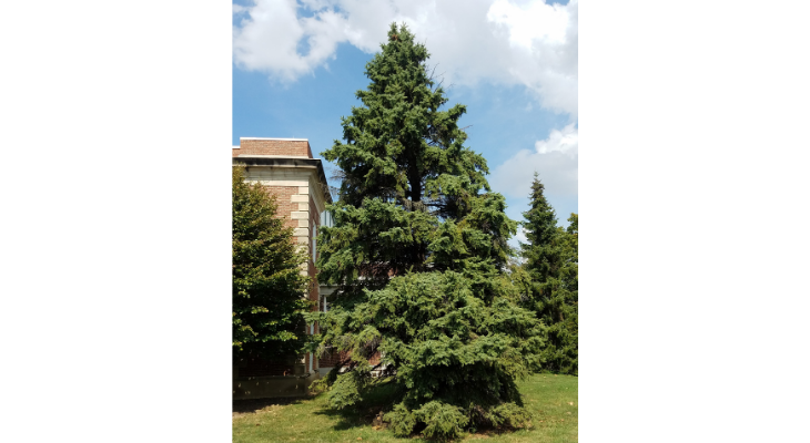 Gymnosperms, like this Colorado blue spruce, are a group of nonflowering plants that emerged several hundred million years before flowering plants (angiosperms) entered the evolutionary history of the plant kingdom.