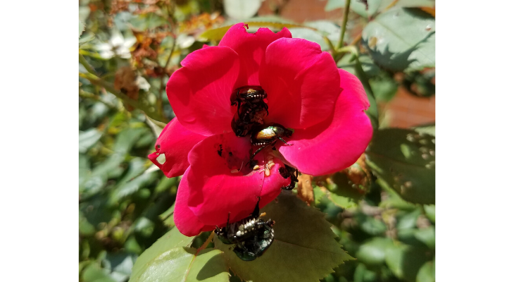 Japanese beetles emerge each June to feed on a variety of host plants, like this rose.