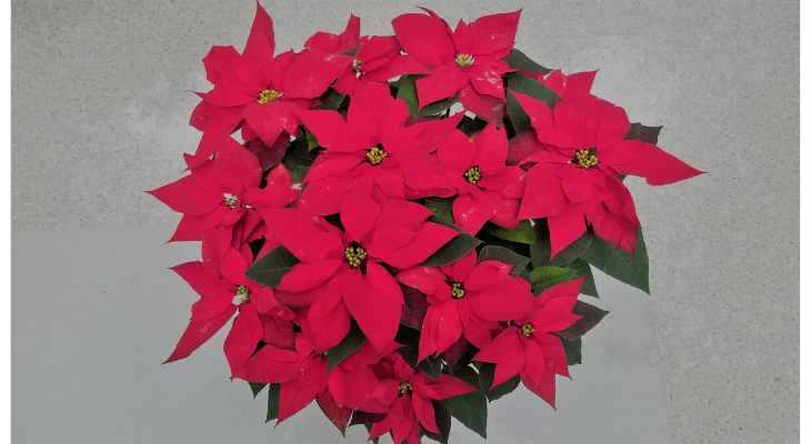Poinsettias are the quintessential holiday house plant with nearly 30 million sold each year.