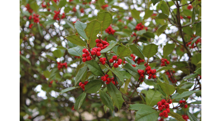 Hollies are symbolic of the holiday season, providing beauty in the landscape as well as abundant berries for native birds. Photo Credit: Diane Plewa, Illinois Extension Plant Clinic