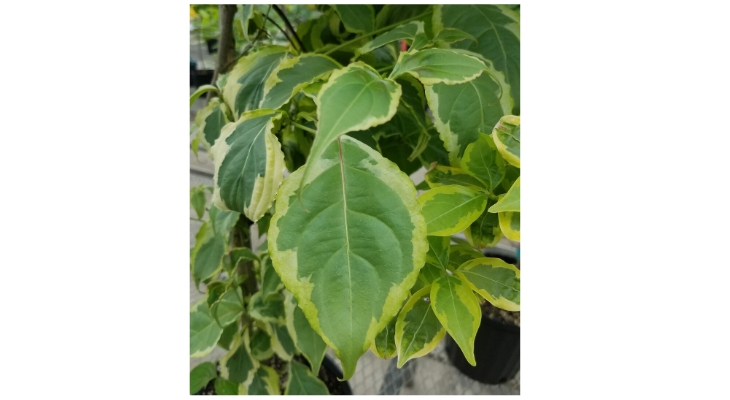 This non-native, kousa dogwood (Cornus kousa 'Klipka') was bred for variegated leaves which may greatly affect insect leaf feeding.