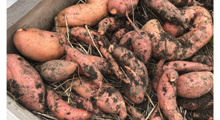 The sweet potato produces more biomass and nutrients per acre that any other food crop, making it a globally important agricultural crop.  Photo Credit: Andrew Holsinger, Illinois Extension