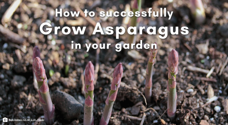 How to successfully grow asparagus in your garden. purple-green asparagus spears emerging from soil.