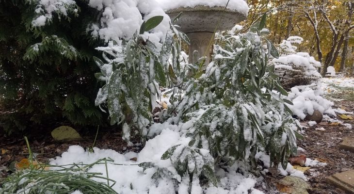Many herbs, such as this sage plant, are cold hardy perennials that still may be harvest for fresh use despite the early Halloween snowfall this week.