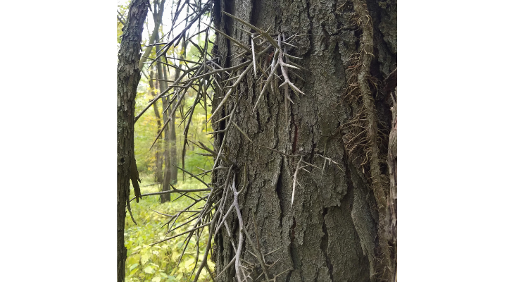 Honey locust can have large and terrifying thorns making it one of our spookiest native trees.