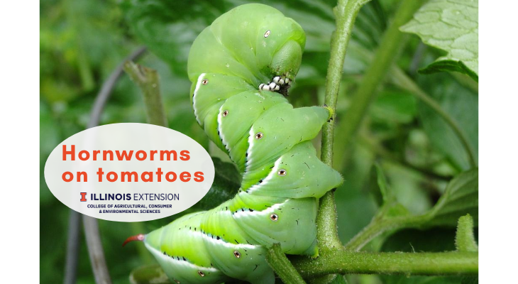 a large tobacco hornworm feeding on a tomato leaf