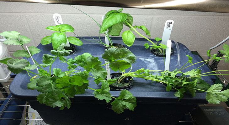 Green herbs growing out of plastic tub in home hydroponic system