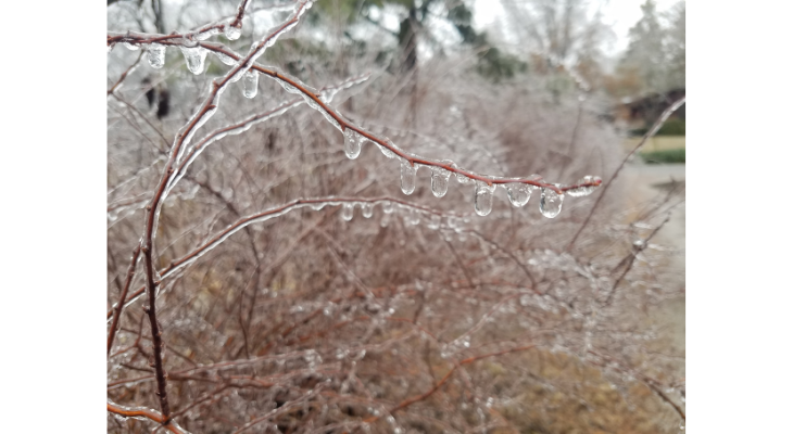 Ice accumulation yesterday resulted in damage to many trees and shrubs in our area.