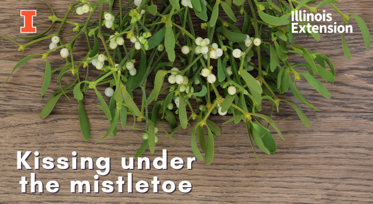 European mistletoe with green leaves and white berries on a wooden table