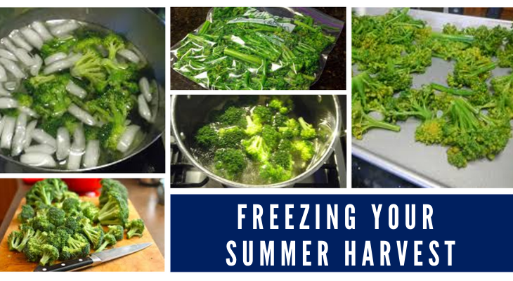 Blanching broccoli for freezing