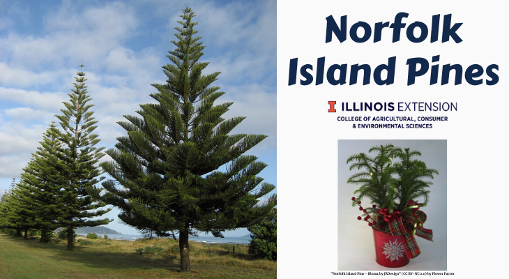 large Norfolk Island pines in a landscape and potted Norfolk Island pine