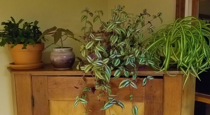 Houseplants provide beauty as well as a plethora of human health benefits during winter although indoor plant care can often be challenging this time of year.