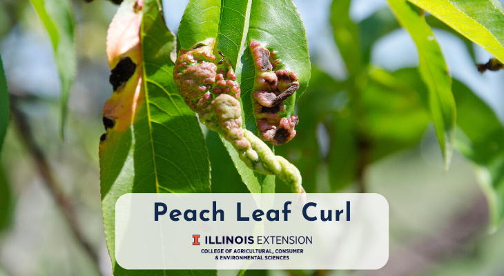 Peach leaf infected with peach leaf curl