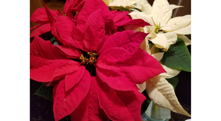 Poinsettias are one of the most popular holiday plants in the US.