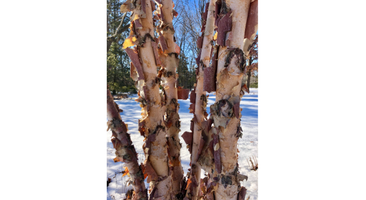 River birch is a native tree with excellent winter appeal from its beautiful, exfoliating bark.