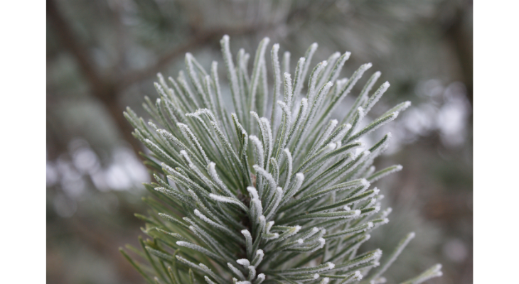 The frosty accumulation of ice crystals on these spruce needles resulted from the wafting spray of an adjacent (untreated) roadway and serves to illustrate how salt spray can accumulate on plant parts.