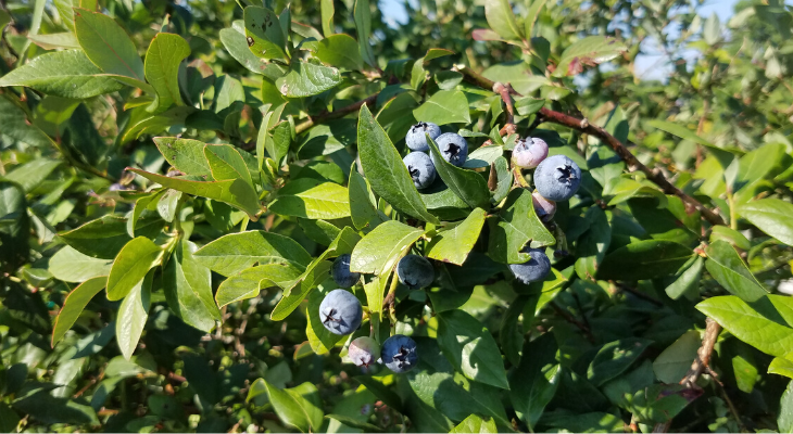 "The blueberry, commonly known as one of our ""superfoods"", was not grown in cultivation until 1912 due a previous lack of understanding about their very specific soil requirements."