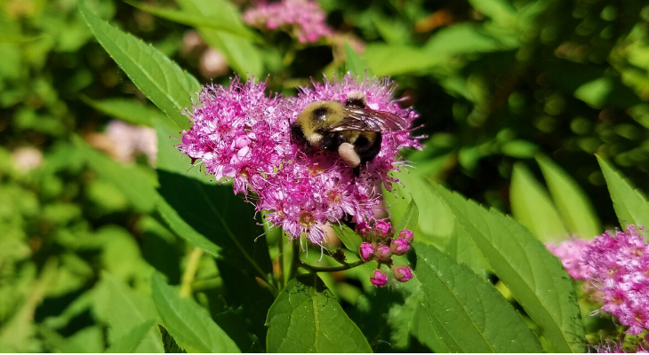This two-spotted bumble bee forages pollen on the flower of a spirea shrub