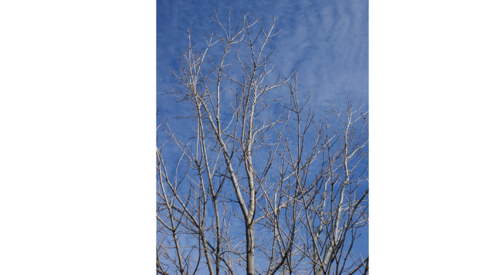 This young red maple could benefit from corrective pruning to establish a central leader that is free of competition from adjacent limbs.
