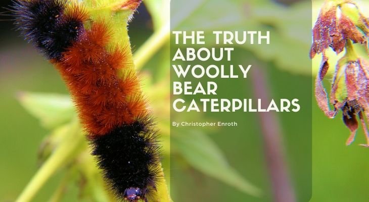The Truth about Woolly Bear Caterpillars
